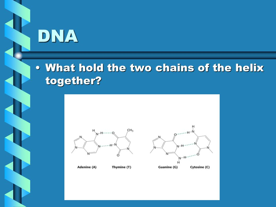 DNA What hold the two chains of the helix together?What hold the two chains of the helix together?