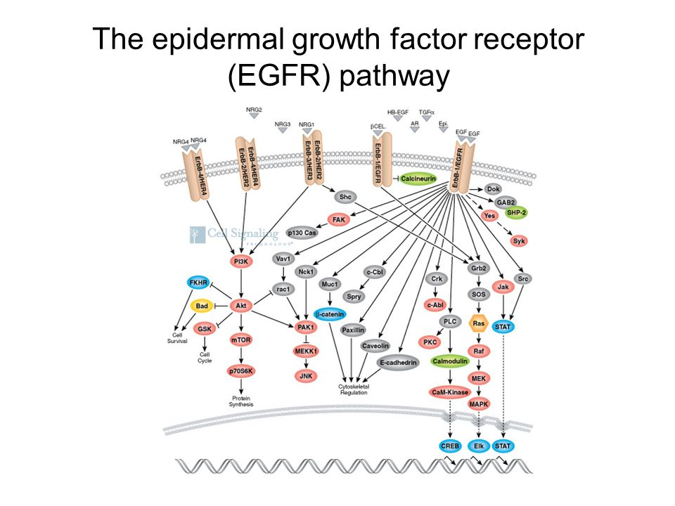 The epidermal growth factor receptor (EGFR) pathway
