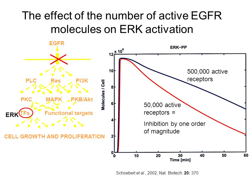 The effect of the number of active EGFR molecules on ERK activation Schoeberl et al., 2002, Nat.