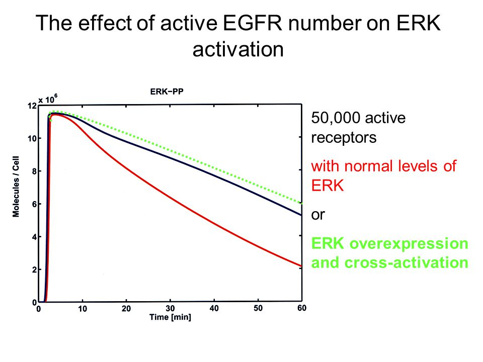 The effect of active EGFR number on ERK activation 50,000 active receptors with normal levels of ERK or ERK overexpression and cross-activation