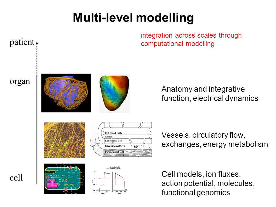 Multi-level modelling cell organ patient Anatomy and integrative function, electrical dynamics Vessels, circulatory flow, exchanges, energy metabolism Cell models, ion fluxes, action potential, molecules, functional genomics integration across scales through computational modelling