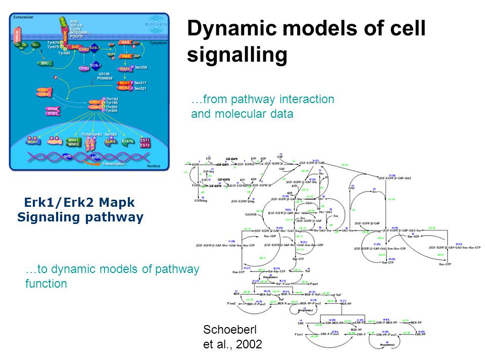 …from pathway interaction and molecular data …to dynamic models of pathway function Schoeberl et al., 2002 Dynamic models of cell signalling Erk1/Erk2 Mapk Signaling pathway