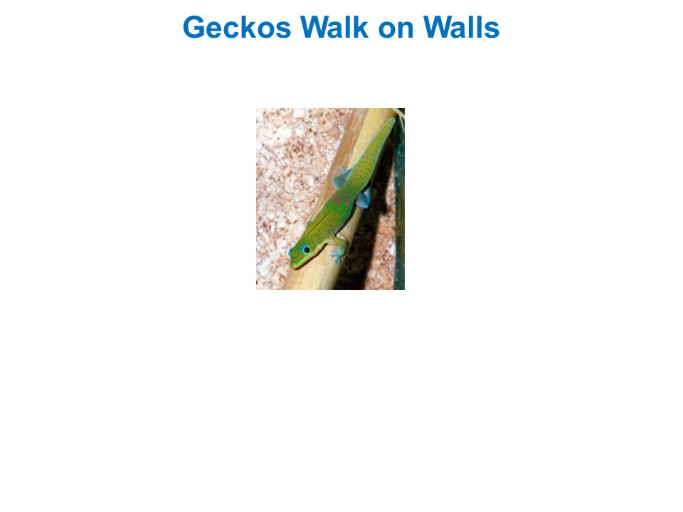 Geckos Walk on Walls
