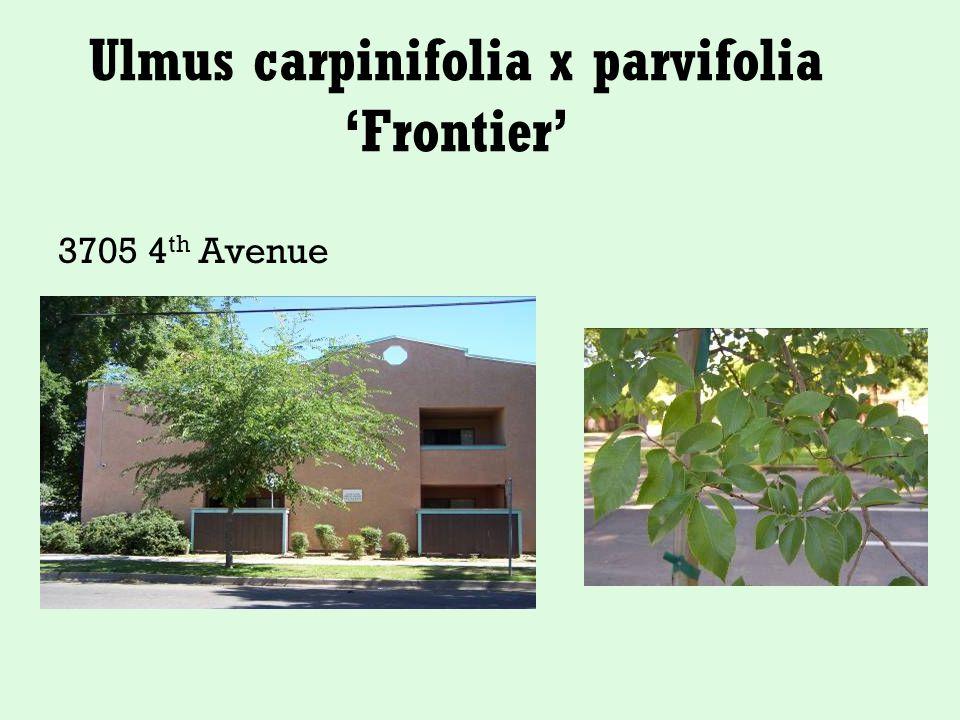 Ulmus carpinifolia x parvifolia 'Frontier' 3705 4 th Avenue