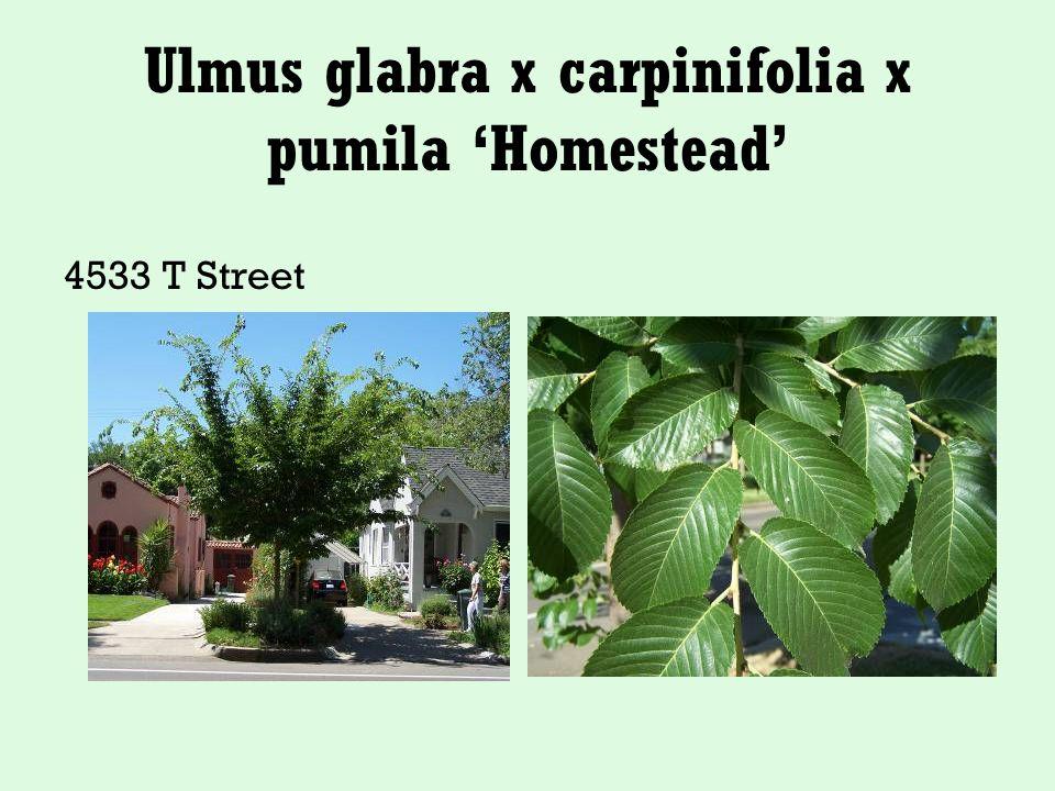 Ulmus glabra x carpinifolia x pumila 'Homestead' 4533 T Street