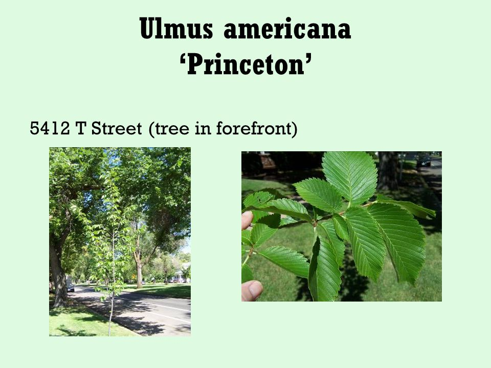 Ulmus americana 'Princeton' 5412 T Street (tree in forefront)