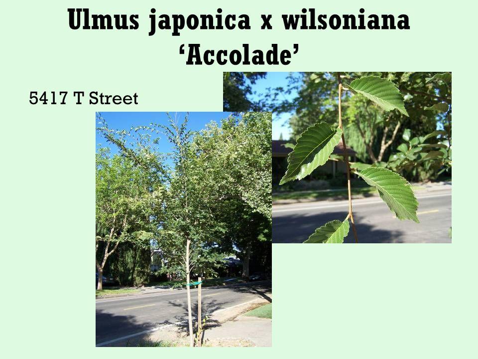 Ulmus japonica x wilsoniana 'Accolade' 5417 T Street