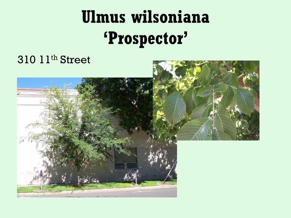 Ulmus wilsoniana 'Prospector' 310 11 th Street