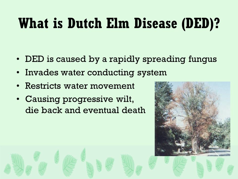 What is Dutch Elm Disease (DED).