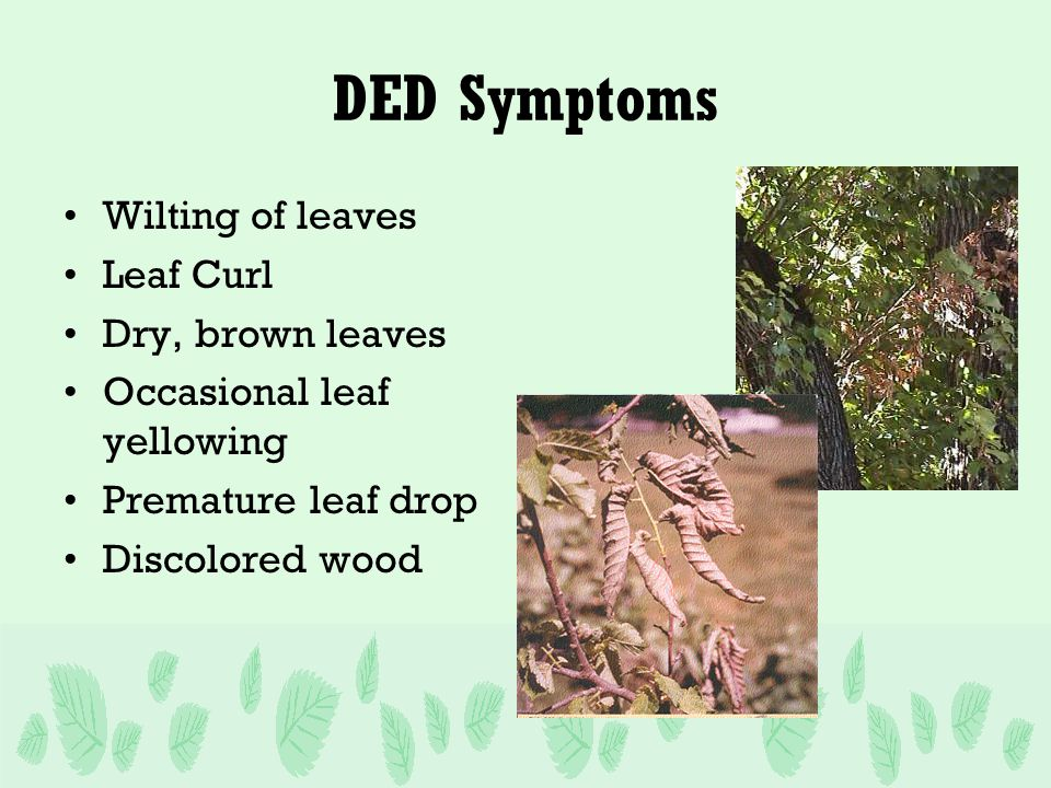 DED Symptoms Wilting of leaves Leaf Curl Dry, brown leaves Occasional leaf yellowing Premature leaf drop Discolored wood