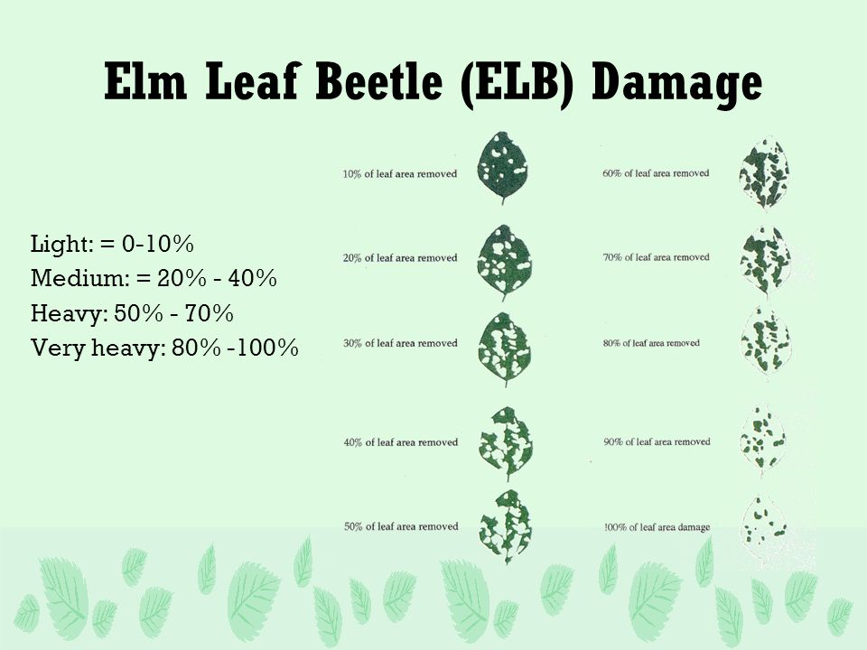 Elm Leaf Beetle (ELB) Damage Light: = 0-10% Medium: = 20% - 40% Heavy: 50% - 70% Very heavy: 80% -100%