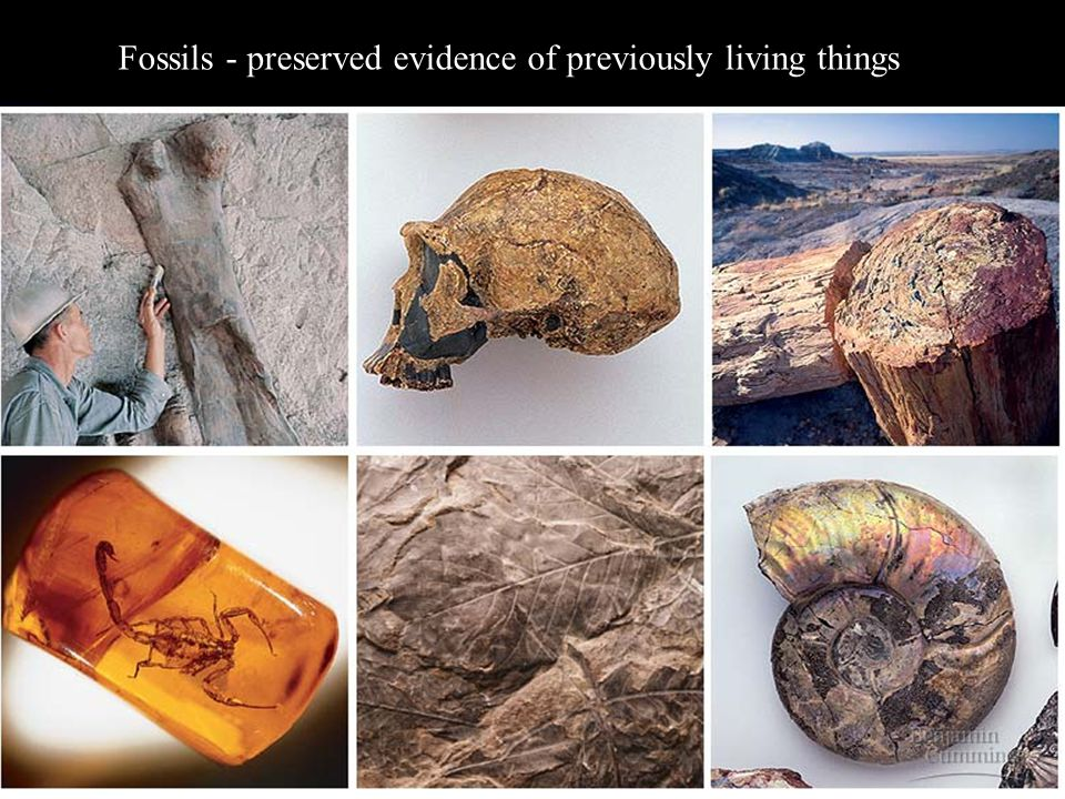 5/2/201529 Fossils - preserved evidence of previously living things