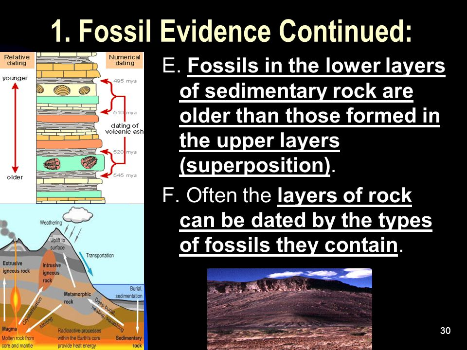 5/2/201530 1. Fossil Evidence Continued: E. Fossils in the lower layers of sedimentary rock are older than those formed in the upper layers (superposi