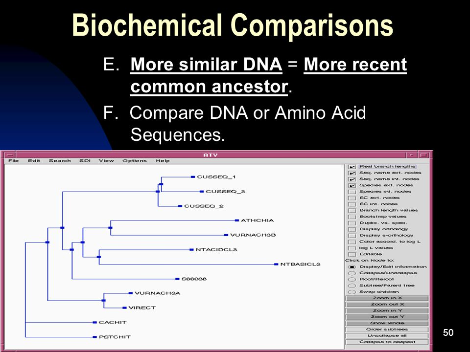 5/2/201550 Biochemical Comparisons E. More similar DNA = More recent common ancestor.