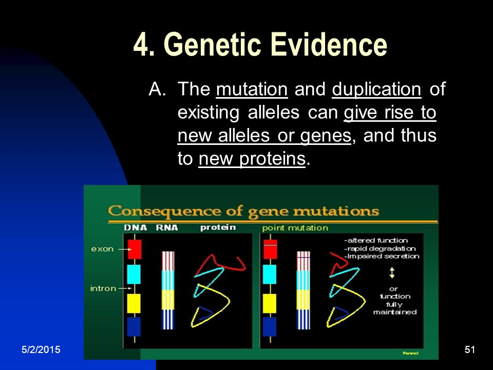 5/2/201551 4. Genetic Evidence A. The mutation and duplication of existing alleles can give rise to new alleles or genes, and thus to new proteins.