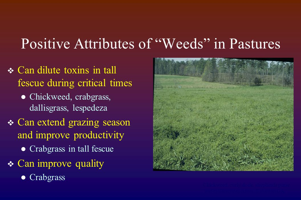 Positive Attributes of Weeds in Pastures  Can dilute toxins in tall fescue during critical times Chickweed, crabgrass, dallisgrass, lespedeza  Can extend grazing season and improve productivity Crabgrass in tall fescue  Can improve quality Crabgrass Chickweed, curly dock, shepherds purse and tall fescue mixture.