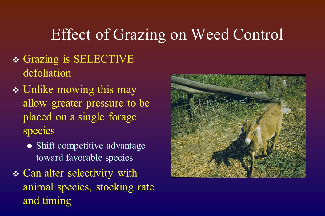 Effect of Grazing on Weed Control  Grazing is SELECTIVE defoliation  Unlike mowing this may allow greater pressure to be placed on a single forage species Shift competitive advantage toward favorable species  Can alter selectivity with animal species, stocking rate and timing