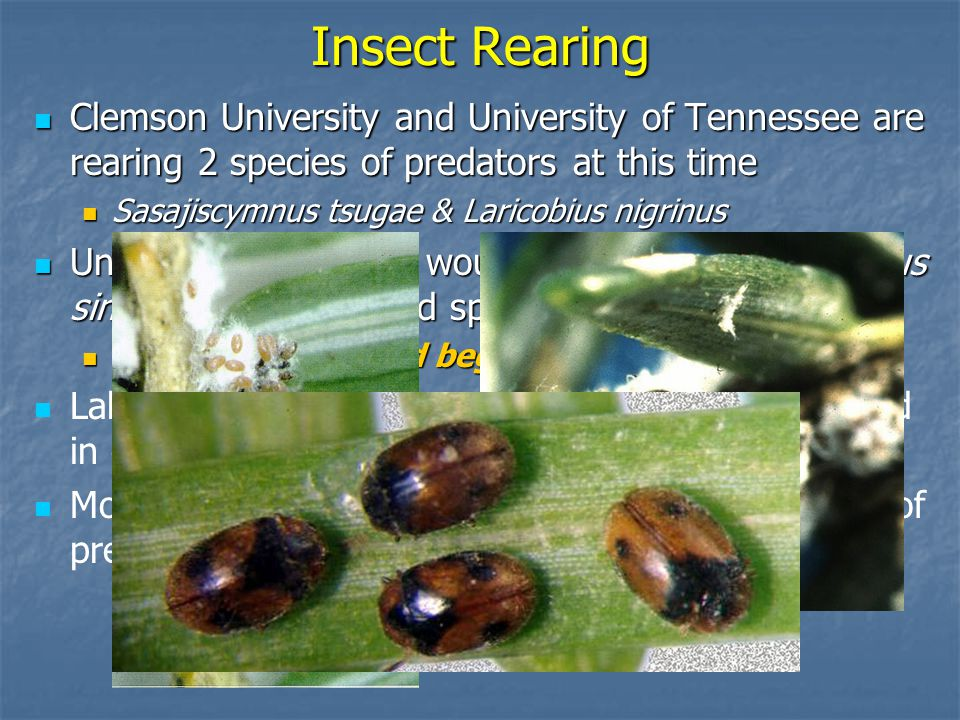 Insect Rearing Clemson University and University of Tennessee are rearing 2 species of predators at this time Clemson University and University of Tennessee are rearing 2 species of predators at this time Sasajiscymnus tsugae & Laricobius nigrinus Sasajiscymnus tsugae & Laricobius nigrinus University of Georgia would probably raise Scymnus sinuanodulous (a third species) University of Georgia would probably raise Scymnus sinuanodulous (a third species) If lab is funded and begins production If lab is funded and begins production Labs would share insects to get all three released in each State Most experts feel that it will take multiple species of predators to provide control of HWA