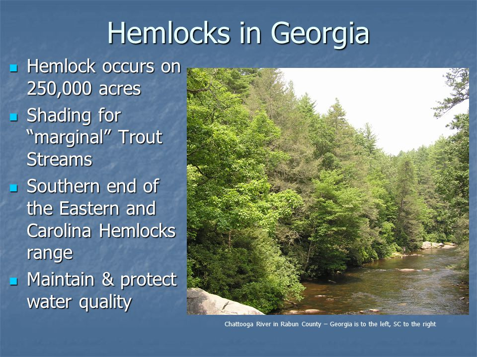 Hemlocks in Georgia Hemlock occurs on 250,000 acres Hemlock occurs on 250,000 acres Shading for marginal Trout Streams Shading for marginal Trout Streams Southern end of the Eastern and Carolina Hemlocks range Southern end of the Eastern and Carolina Hemlocks range Maintain & protect water quality Maintain & protect water quality Chattooga River in Rabun County – Georgia is to the left, SC to the right