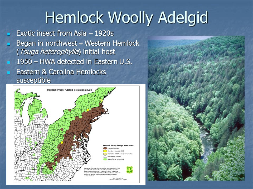 Hemlock Woolly Adelgid Adelges tsugae Sucking mouthparts – feed where the needles attach to the stem Woolly masses are present from late fall to early summer 2 years – numbers will build to twig/branch dieback 2-4 years – tree death (in Georgia) Eastern Hemlock in the northern end of the range can last for many years while being attacked HWA can attack and kill all ages and sizes of hemlock.