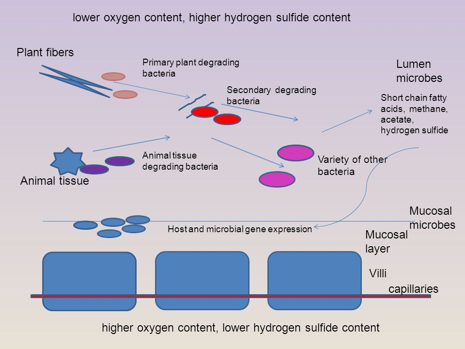 Villi Mucosal layer Plant fibers Animal tissue Mucosal microbes Primary plant degrading bacteria Secondary degrading bacteria Lumen microbes Animal tissue degrading bacteria Variety of other bacteria Short chain fatty acids, methane, acetate, hydrogen sulfide Host and microbial gene expression lower oxygen content, higher hydrogen sulfide content higher oxygen content, lower hydrogen sulfide content capillaries