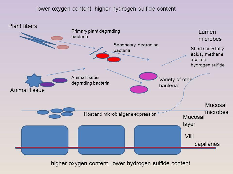 Villi Mucosal layer Plant fibers Animal tissue Mucosal microbes Primary plant degrading bacteria Secondary degrading bacteria Lumen microbes Animal ti