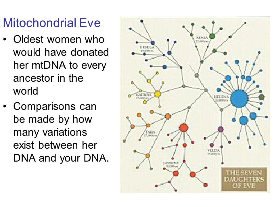 Mitochondrial Eve Oldest women who would have donated her mtDNA to every ancestor in the world Comparisons can be made by how many variations exist between her DNA and your DNA.