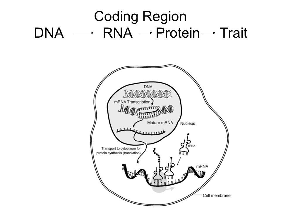 Coding Region DNA RNA Protein Trait