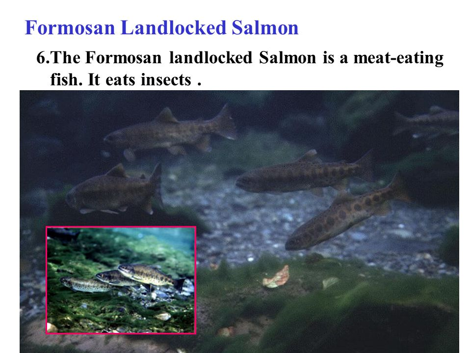 6.The Formosan landlocked Salmon is a meat-eating fish. It eats insects. Formosan Landlocked Salmon