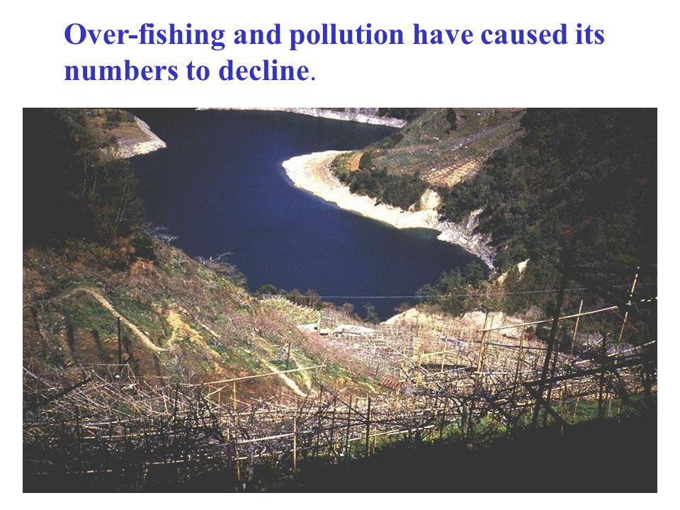 Over-fishing and pollution have caused its numbers to decline.