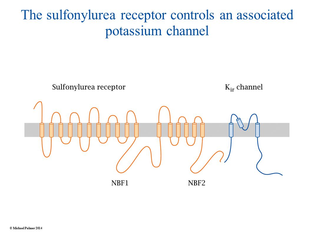 The sulfonylurea receptor controls an associated potassium channel © Michael Palmer 2014
