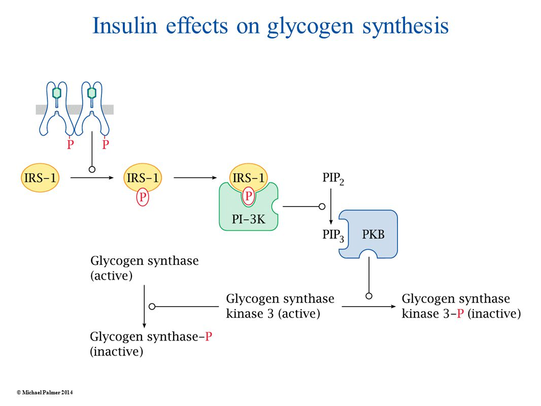 Insulin effects on glycogen synthesis © Michael Palmer 2014