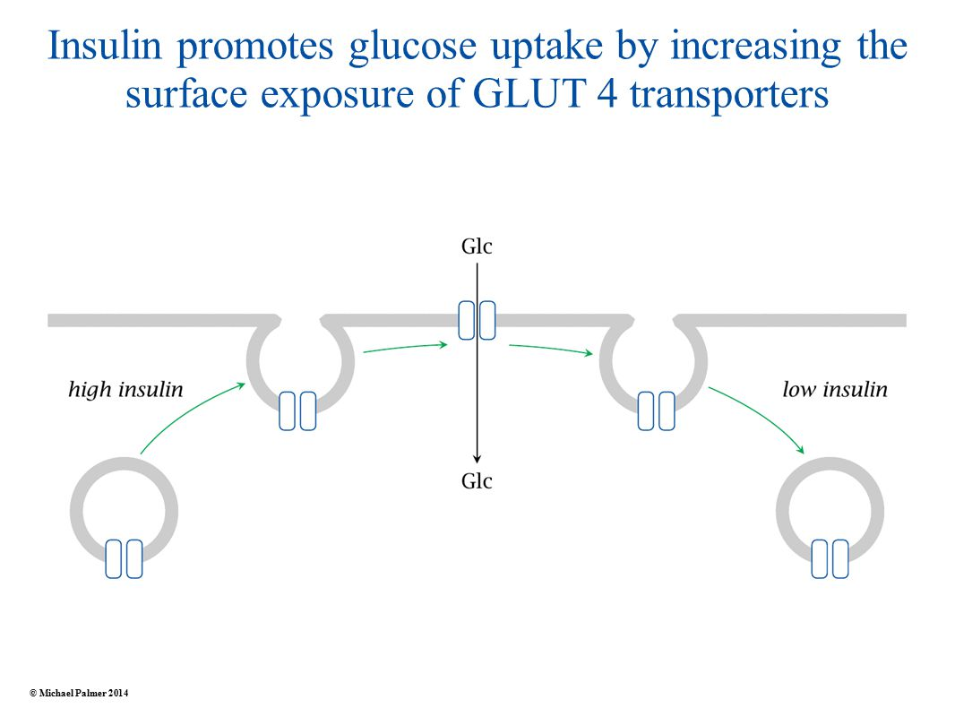 Insulin promotes glucose uptake by increasing the surface exposure of GLUT 4 transporters © Michael Palmer 2014