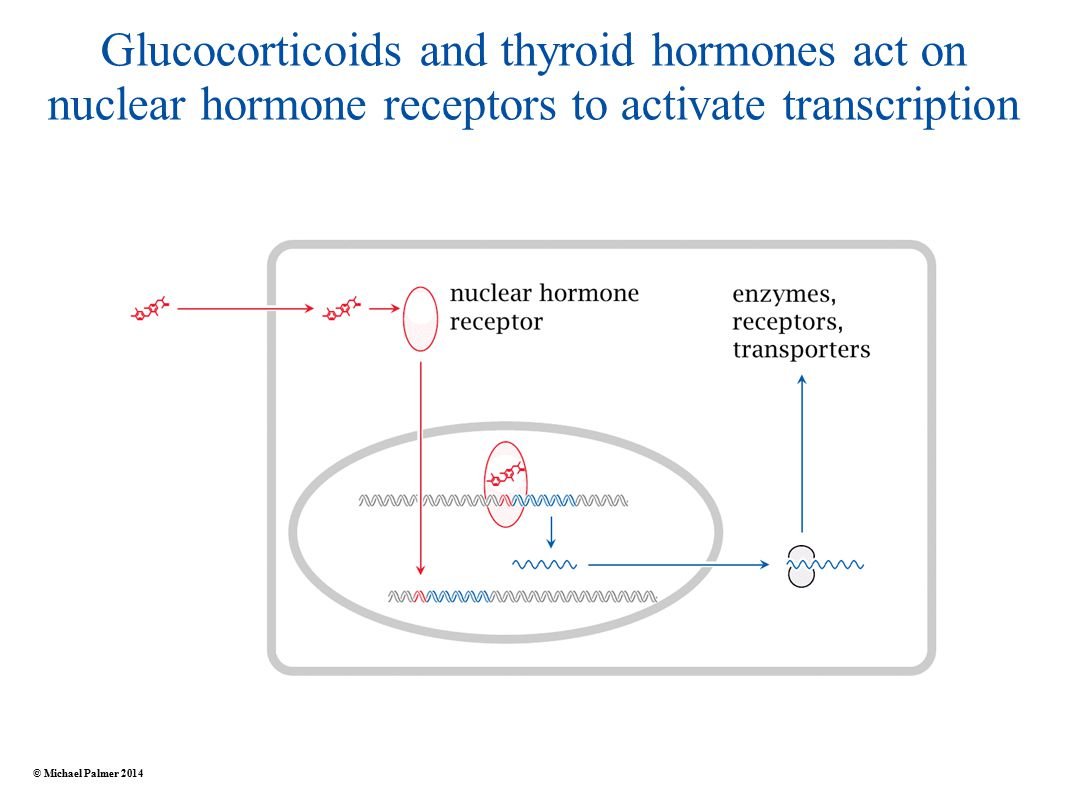 Glucocorticoids and thyroid hormones act on nuclear hormone receptors to activate transcription © Michael Palmer 2014
