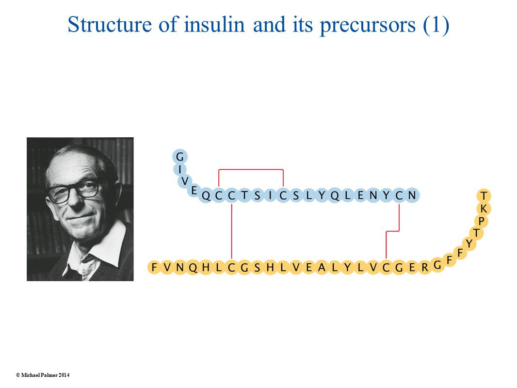 Structure of insulin and its precursors (1) © Michael Palmer 2014
