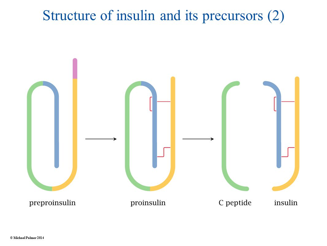 Structure of insulin and its precursors (2) © Michael Palmer 2014