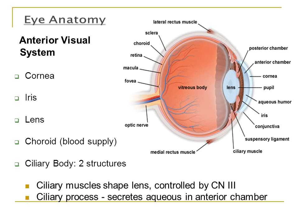 Anterior Visual System  Cornea  Iris  Lens  Choroid (blood supply)  Ciliary Body: 2 structures Ciliary muscles shape lens, controlled by CN III C