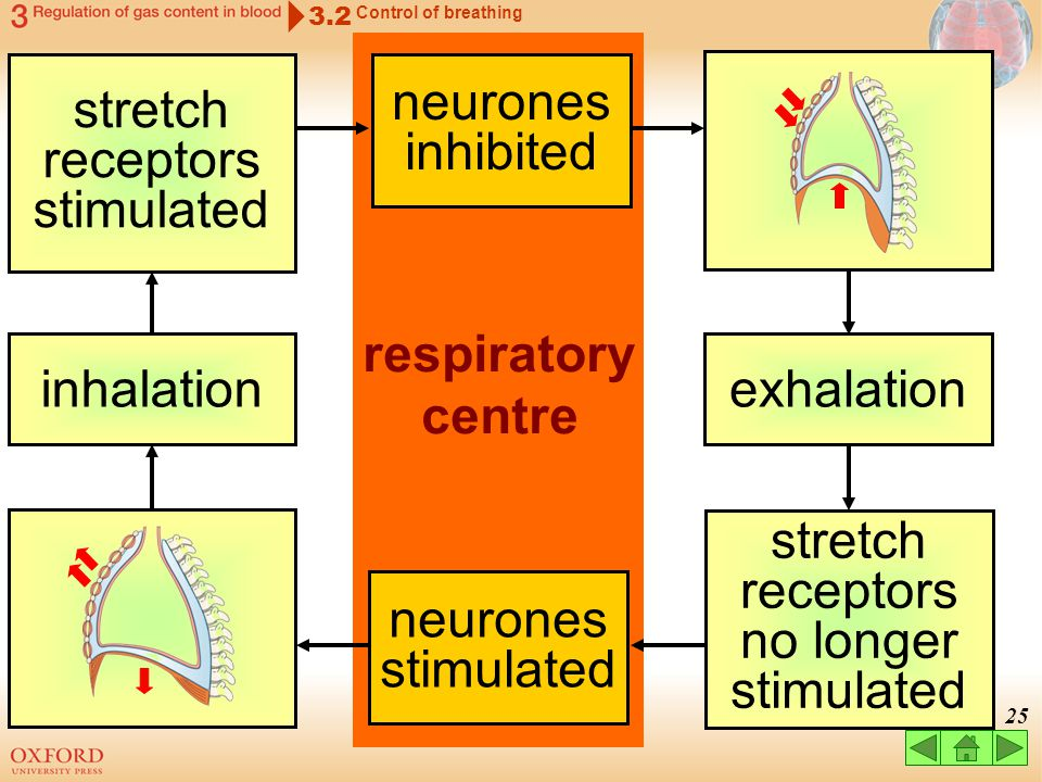 24 How does the respiratory centre control breathing? 3.2 Control of breathing the basic rhythm is brought about by feedback mechanisms between the re