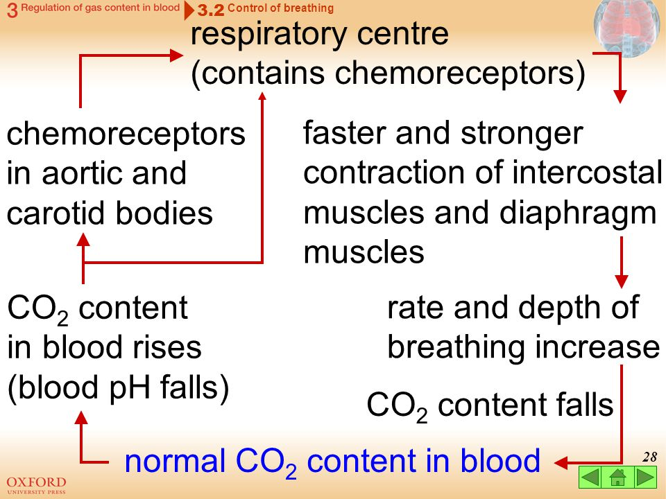 27 Effects of CO 2 content in blood on breathing respiratory centre responds to changes in blood pH 3.2 Control of breathing in blood: in body cells (
