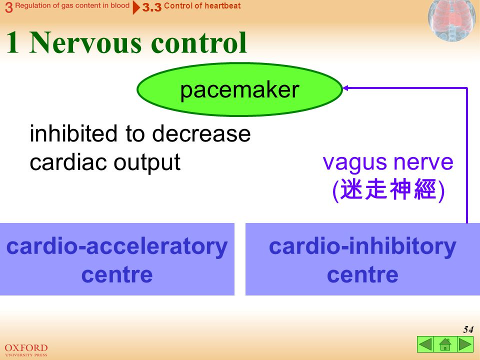 53 3.3 Control of heartbeat 1 Nervous control cardio-acceleratory centre cardio-inhibitory centre pacemaker parasympathetic nerve ( 副交感神經 )