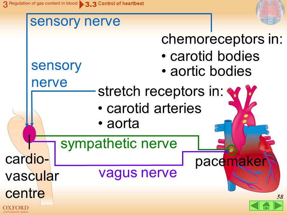 57 cardio- vascular centre chemoreceptors in: carotid bodies aortic bodies sensory nerve stretch receptors in: carotid arteries aorta 3.3 Control of h
