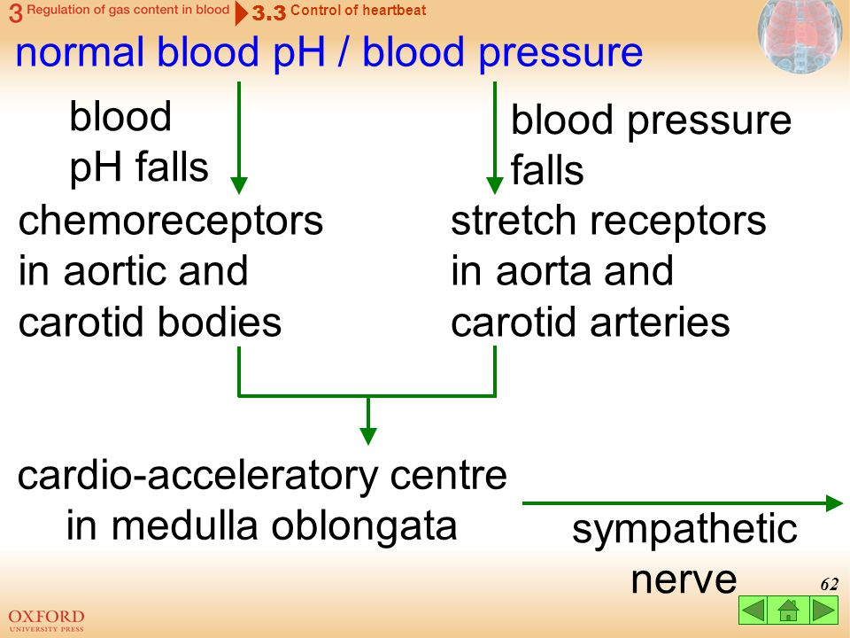 61 cardio-inhibitory centre in medulla oblongata normal blood pH / blood pressure 3.3 Control of heartbeat blood pH rises blood pressure rises chemore