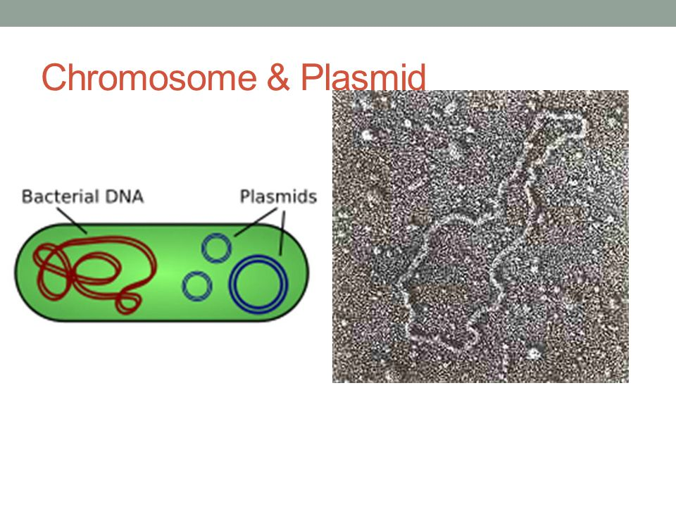 Chromosome & Plasmid