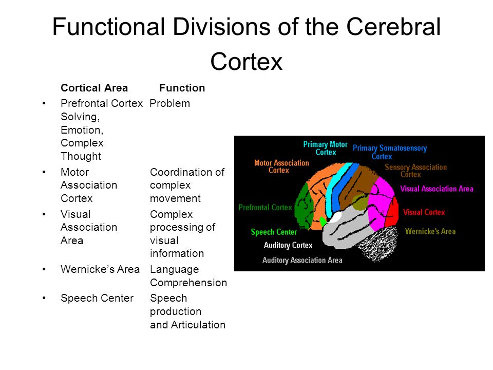 Functional Divisions of the Cerebral Cortex Cortical Area Function Prefrontal Cortex Problem Solving, Emotion, Complex Thought Motor Coordination of A