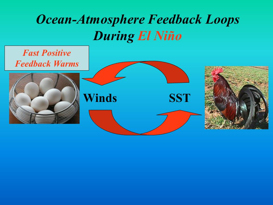 Feedbacks Ocean-Atmosphere Feedback Loops During El Niño WindsSST Fast Positive Feedback Warms