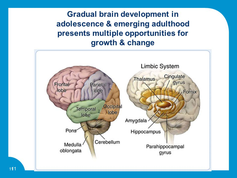 11 Gradual brain development in adolescence & emerging adulthood presents multiple opportunities for growth & change