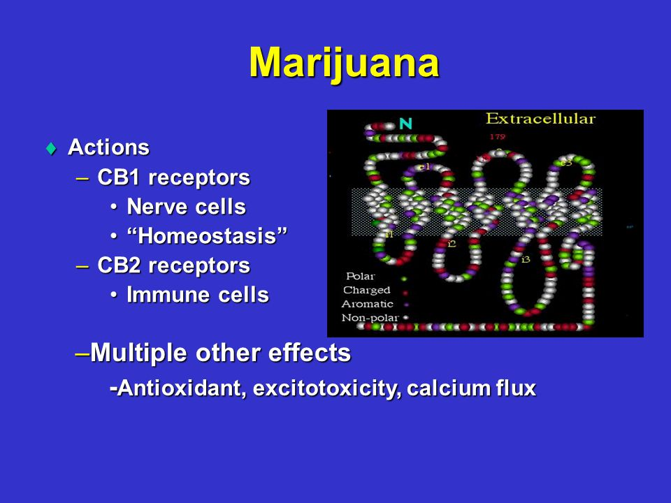 Marijuana  Actions –CB1 receptors Nerve cellsNerve cells Homeostasis Homeostasis –CB2 receptors Immune cellsImmune cells –Multiple other effects - Antioxidant, excitotoxicity, calcium flux