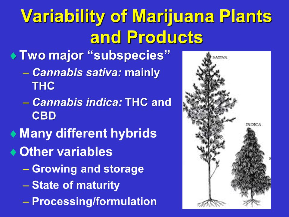 Variability of Marijuana Plants and Products  Two major subspecies –Cannabis sativa: mainly THC –Cannabis indica: THC and CBD   Many different hybrids   Other variables – –Growing and storage – –State of maturity – –Processing/formulation