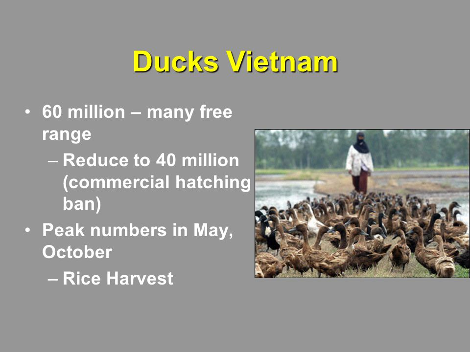 Ducks Vietnam 60 million – many free range –Reduce to 40 million (commercial hatching ban) Peak numbers in May, October –Rice Harvest