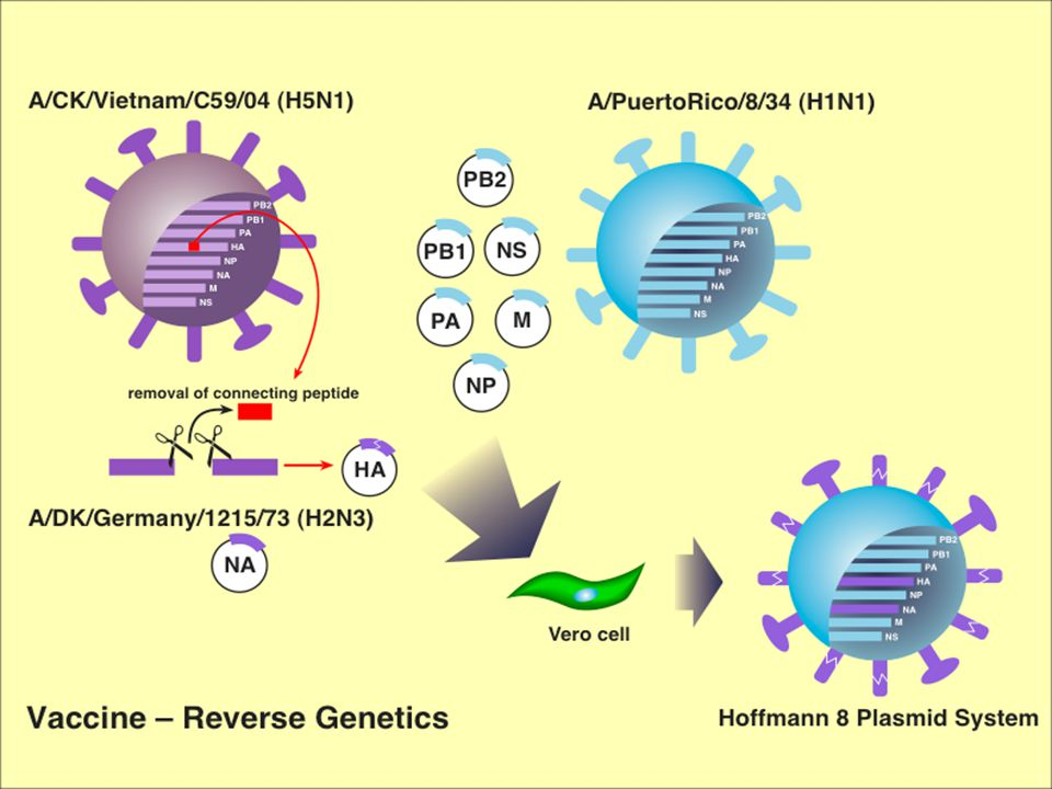 Lethality of H5N1/04 Viruses for Ferrets Isolated from No.